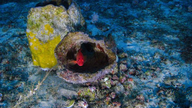 Fish peers out from shelter in the Amazon Reef as scientists snap its photo from a submersible off the...