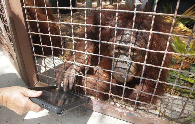 An Orangutan uses an iPad at a zoo in the