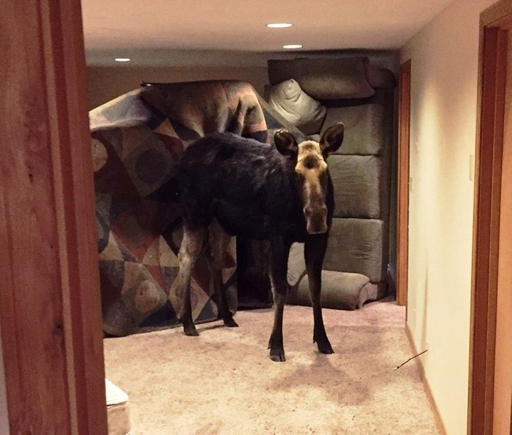 Oh, that? Just a tiny moose. Recently broke up with some guy named Bullwinkle.Letting her crash in the basement until s