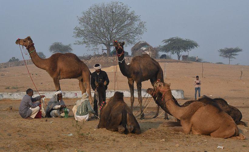 <em>Negotiating at the Pushkar Camel Fair </em>