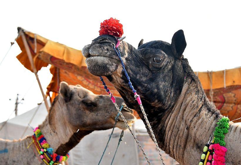 <em>Getting a closeup view of camels at the Pushkar Camel Fair</em>     E����E�