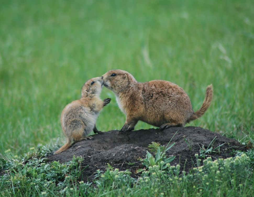 "Freya Youssef, 12<br>""This is a photo of a mother prairie dog greeting its young pup with a kiss. It was taken in Custer Stat"