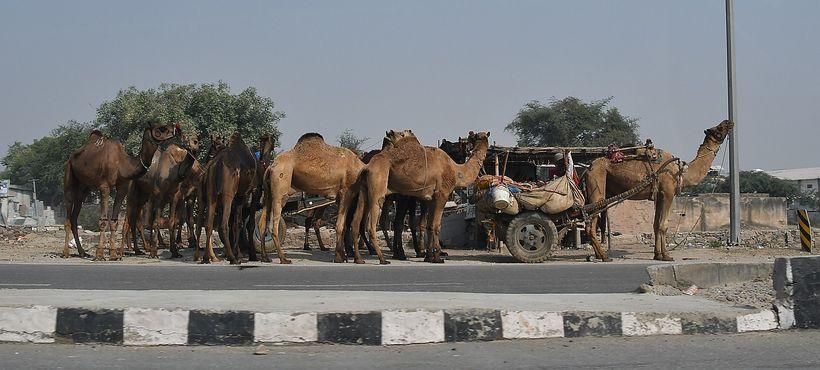 <em>Camels being led home along the highway from the Pushkar Camel Fair</em>    r{����E�