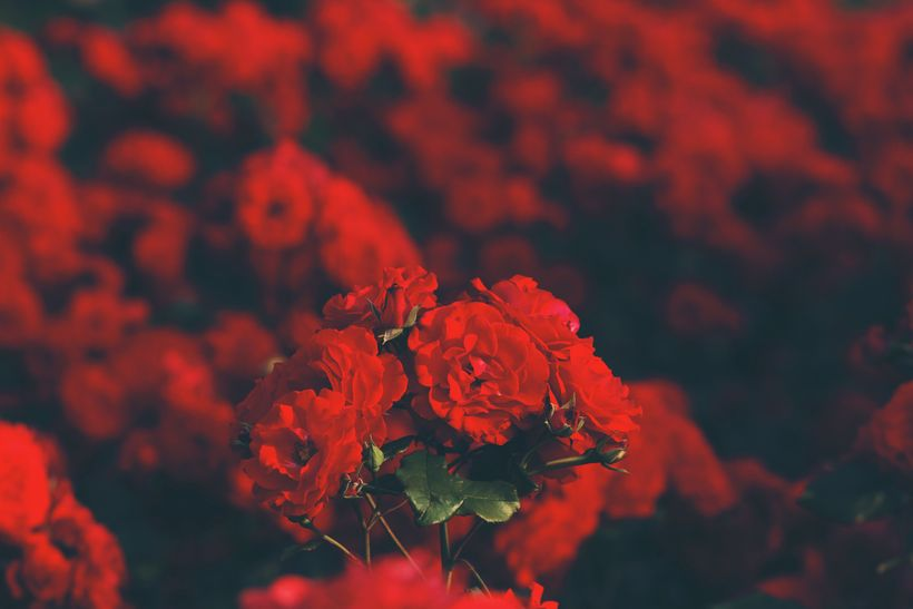 """In Taiwan one red rose signifies an only love, eleven roses symbolizes a special someone, ninety-nine roses signifies """"foreve"""