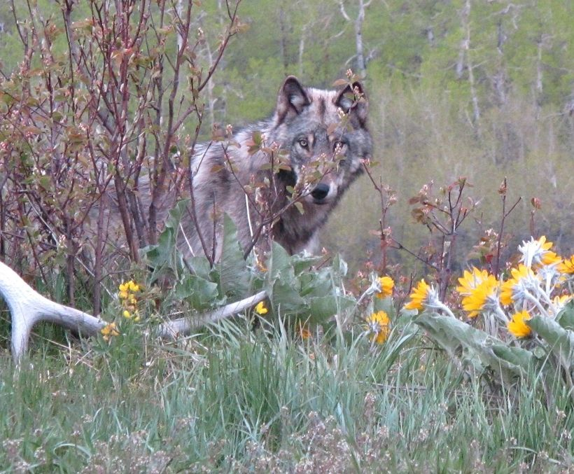 Wolf in a wildlife corridor, outside Waterton Lakes National Park