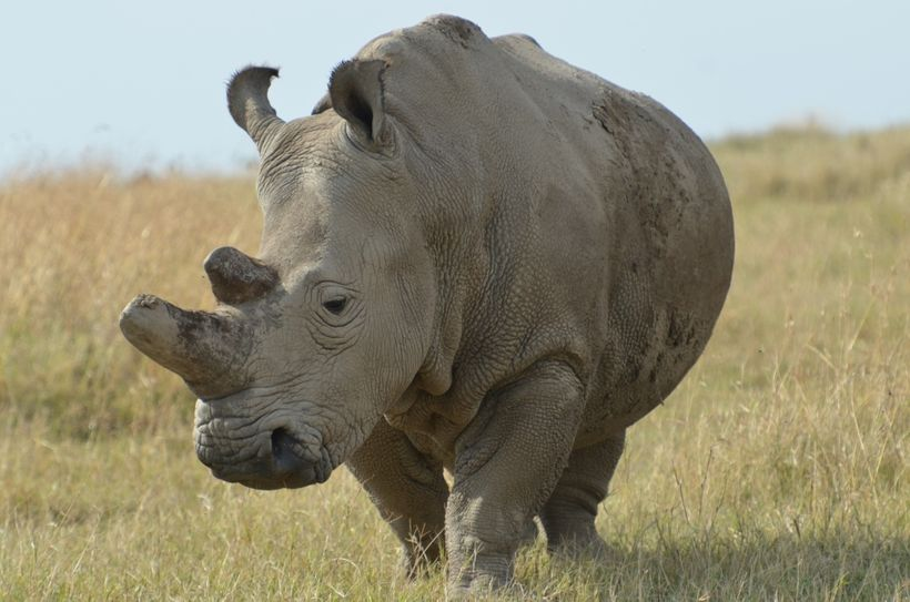 Northern white rhino in Kenya dehorned for conservation purposes, Goheen research project, Kenya