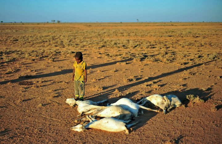 A boy looks at a flock of dead goats in northeastern Somalia on Dec. 15. The United Nations said this week that 5 millio