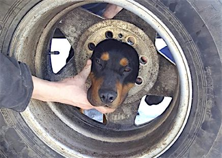 Blaze found himself in a precarious situation after he stuck his head through a tire wheel in Butte, Montana, on Monday after