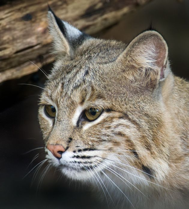 Ollie the bobcat is found at the National Zoo