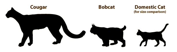 Bobcats are larger than the average domestic cat. They are carnivores but pose no imminent danger to people, officials said.