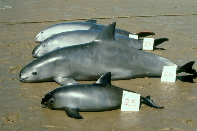Measuring about 4 to 5 feet in length, vaquitas are the smallest of the cetaceans (dolphins, whales...
