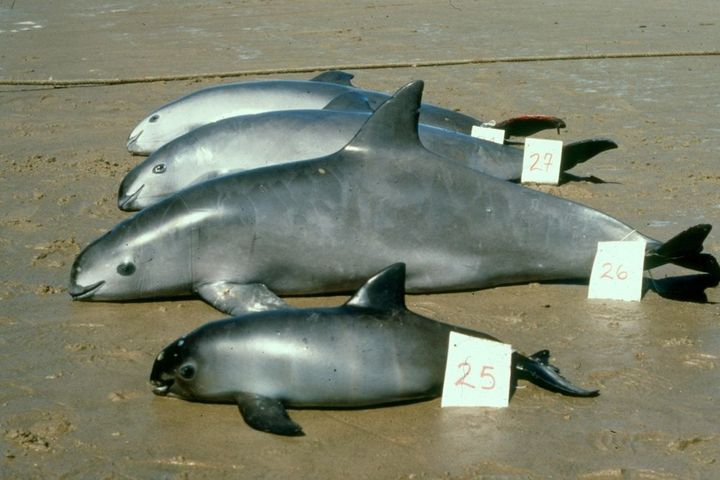 Measuring about 4 to 5 feet in length, vaquitas are the smallest of the cetaceans (dolphins, whales and porpoises), and