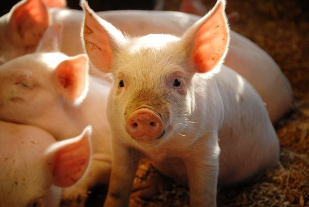 Heart attacks were induced in pigs without the proper licence (stock