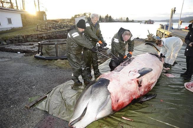 Norwegian researchers examine the body of a goose-beaked whale that scientists believe was driven to beach by the pain a
