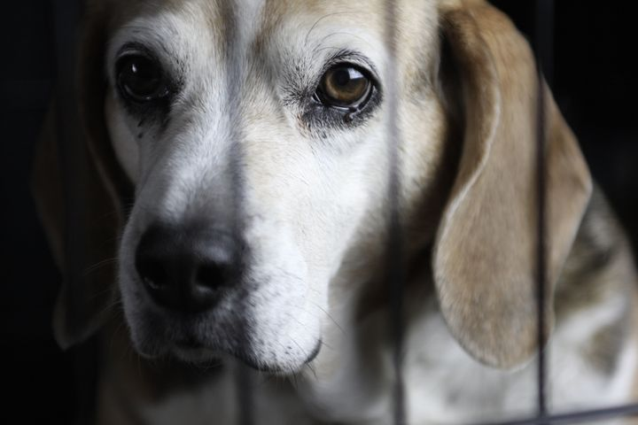 Beagles are the type of dog most commonly used in laboratory testing.