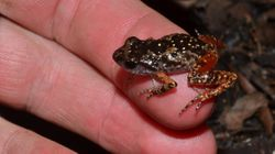 Tiny Frog Last Seen In 1962 Found In The Mountains Of