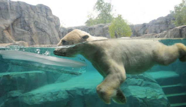 Polar bear at the Brookfield Zoo (Chicago Zoological Society)