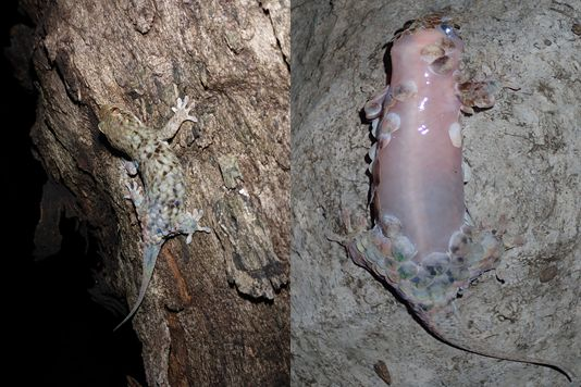 This Astonishing Gecko's Skin Tears Off When A Predator Tries To Catch