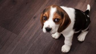 Beagle puppy sitting on a dark wooden floor and looking at camera
