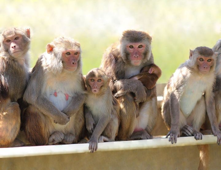 Rhesus macaques at the California National Primate Research Center. Sixteen adult male rhesus monkeys participated in the Vasalgel experiment.