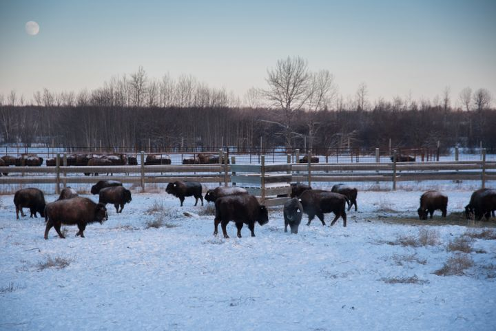 Bison in a handling facility at Elk Island National Park in Alberta, Canada, on Jan. 9. Wild bison were selected from the&nbs