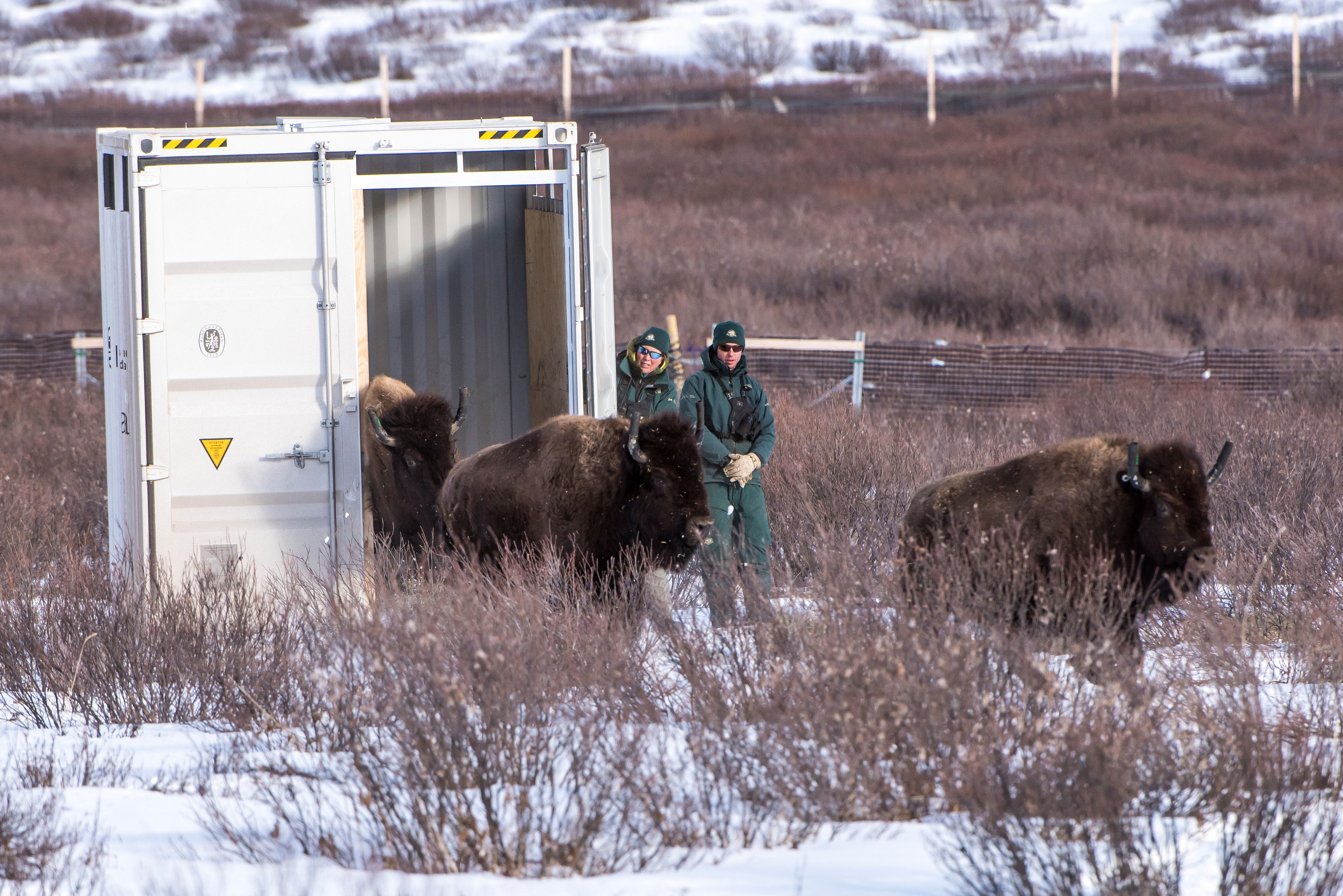 Parks Canada resource conservation staff Saundi Norris and Dillon Watt oversee the bisons' return to Banff National Park in A
