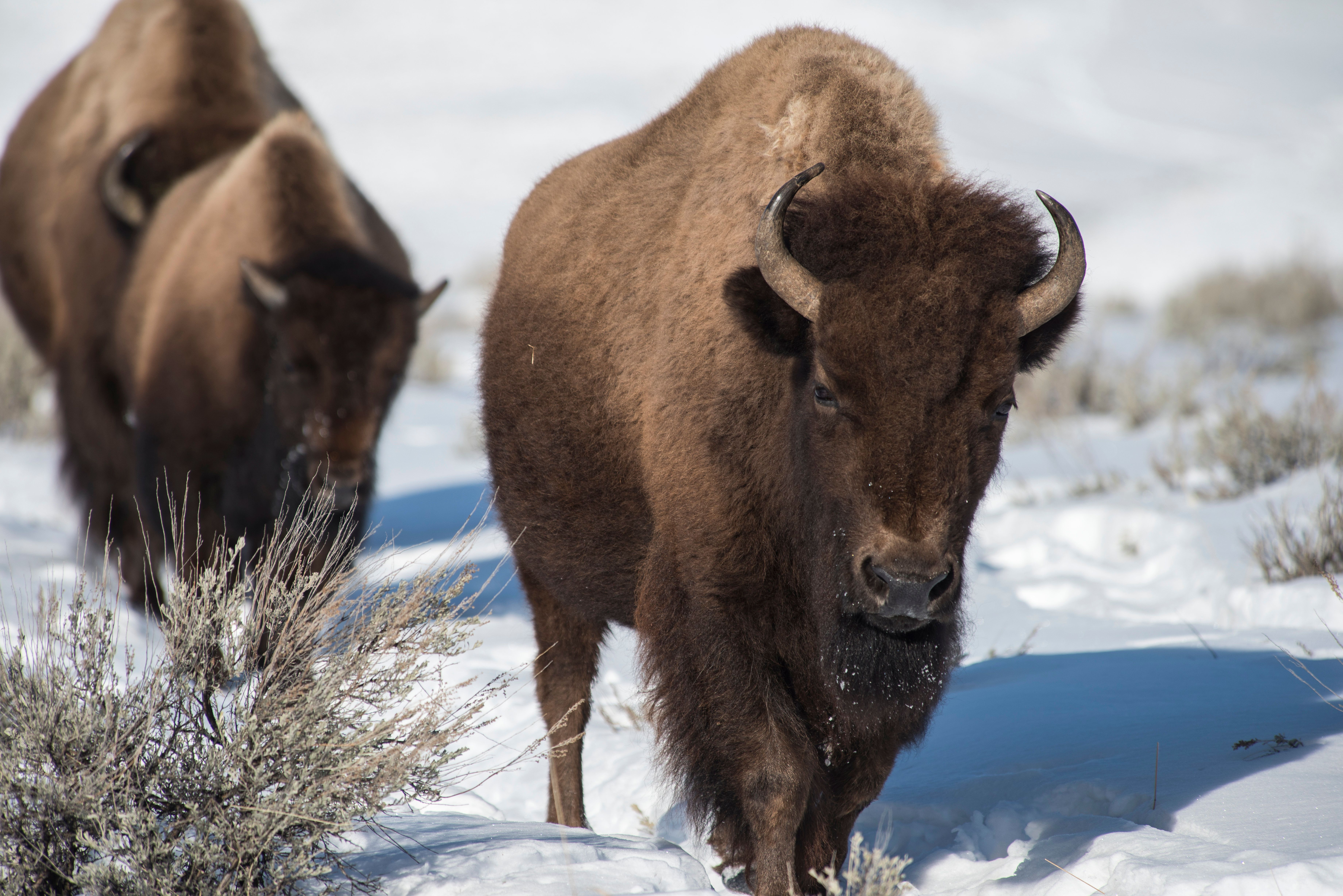 A herd of female bison trek toward the northern border of Yellowstone Park. In 2016 Yellowstone Park officals will cull between 600 to 900 from thr herd as they leave the park. (Photo by William Campbell/Corbis via Getty Images)