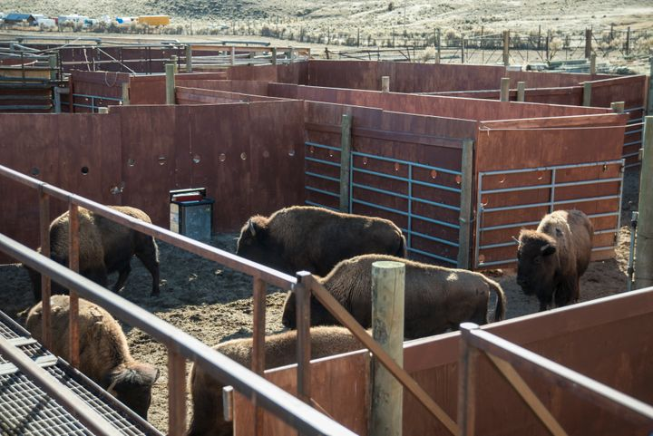 Bison at Yellowstone's Stevens Creek capture facility, awaiting shipment to slaughter, in 2014.
