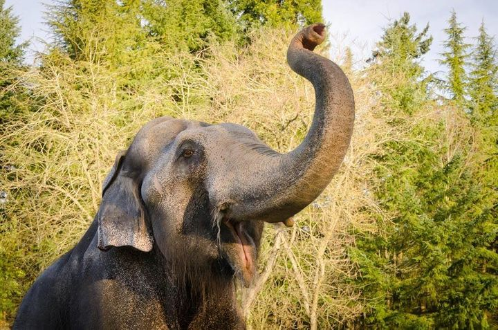 Packy, a 54-year-old elephant, was euthanized at the Oregon Zoo on Thursday.