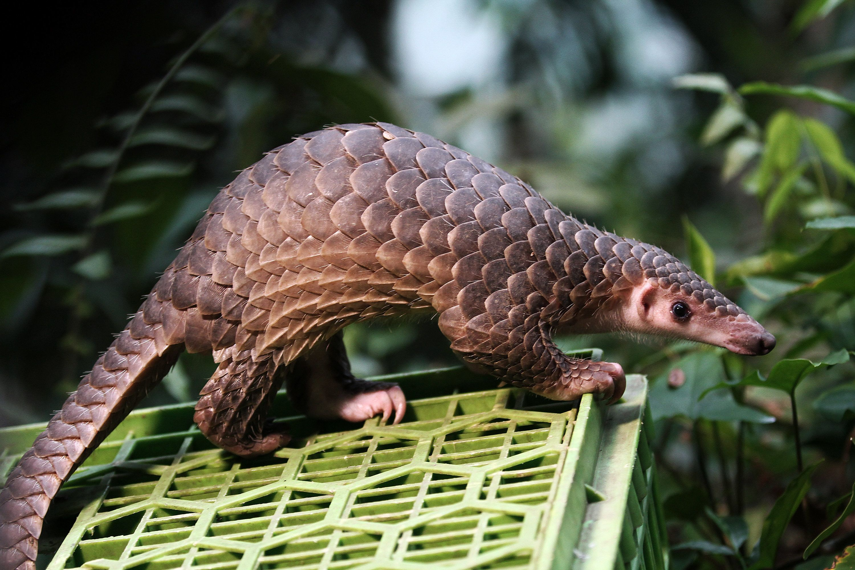 """Protected animals Pangolin released into the wild after seized from the illegal trade, in forest conservation in Sibolangit, North Sumatra, Indonesia, Monday, April 27, 2015. Indonesian police secure the pangolin, which is part of the evidence as much as 3,400 kilograms or 3 tons of pangolin which is skinned and packaged, along with one kilogram of pangolin scales in 3000 US dollars which is used for the purposes of pelanging body, lanterns and material manufacture of methamphetamine, and 93 live pangolins were reintroduced tail. pangolin smugglers who are protected animals in Government Regulation No. 7/1999 about Preservation of Plants and Animals. """"Pangolin trade most rampant in various places. The Chinese believe the animal could cure various diseases with losses to the state reached 18, 4 billion Rupiah or 1,307,736 euro"""". State police officials sa (Photo by NurPhoto/NurPhoto via Getty Images)"""