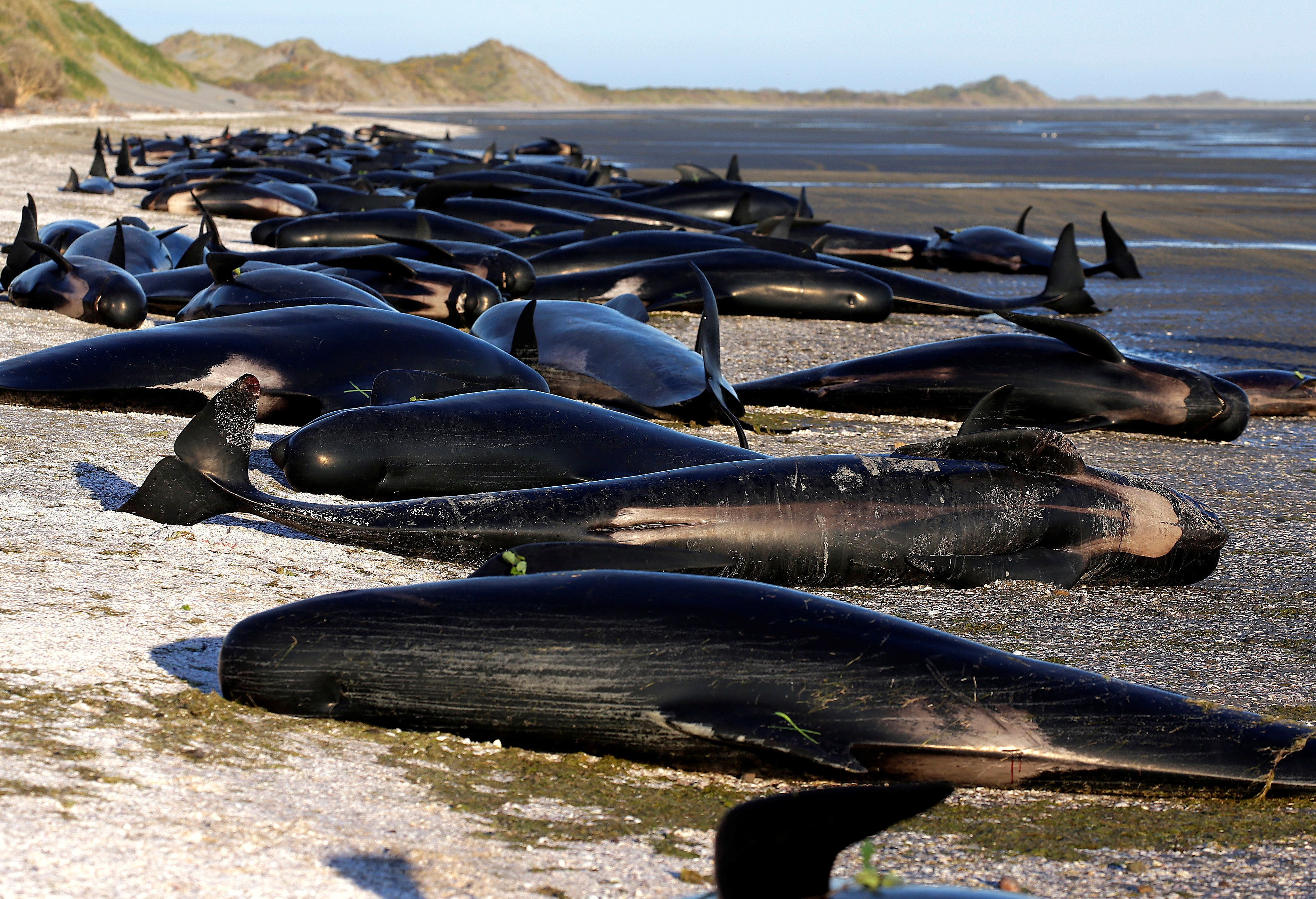 Hundreds Of Pilot Whales Die As Rescuers Race To Save Survivors Stranded On New Zealand