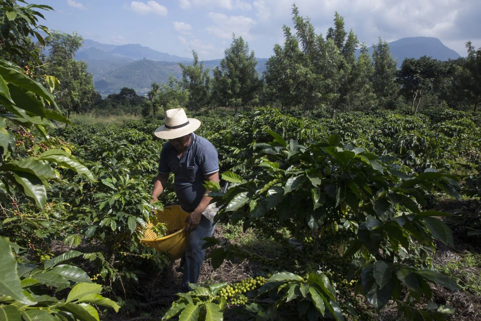 Harvesting coffee cherries at a plantation on the slopes of the Agua volcano in Guatemala. Dec....