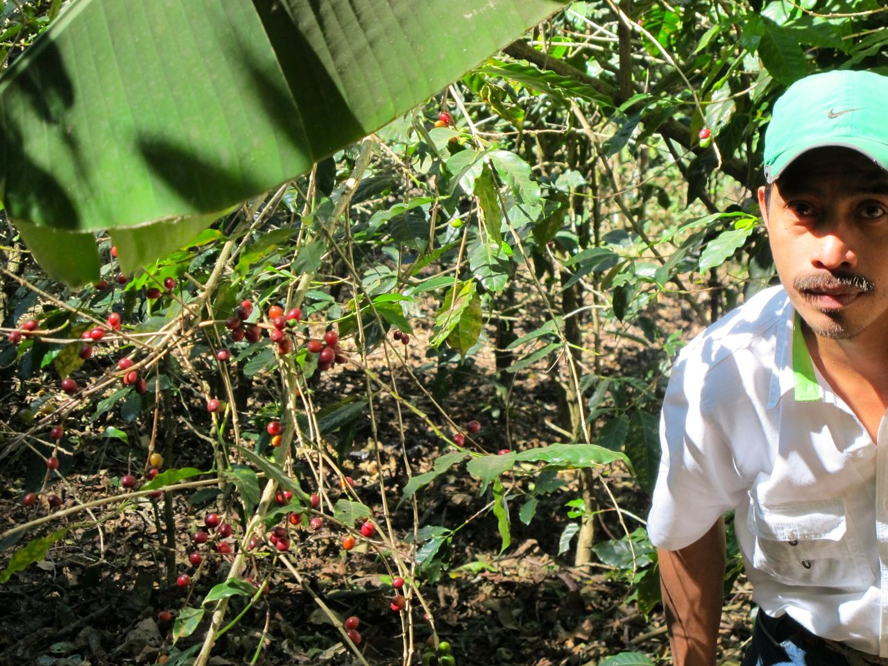 An agronomist for Coffee & Climate on a blighted coffee plantation.