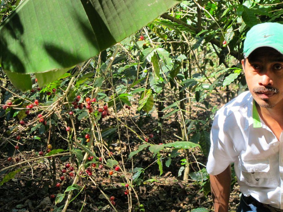 An agronomist for Coffee & Climate on a blighted coffee