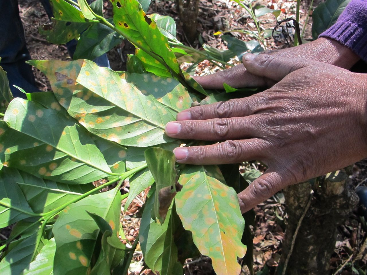 The early signs of coffee rust, a blight worsened by the impacts of climate change, on a coffee plant in Guatemala's dry corridor.