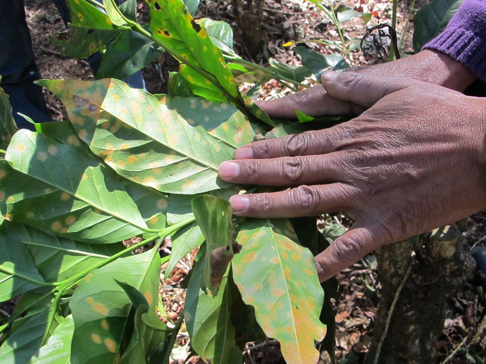 The early signs of coffee rust, a blight worsened by the impacts of climate change, on a coffee plant in Guatemala's dr