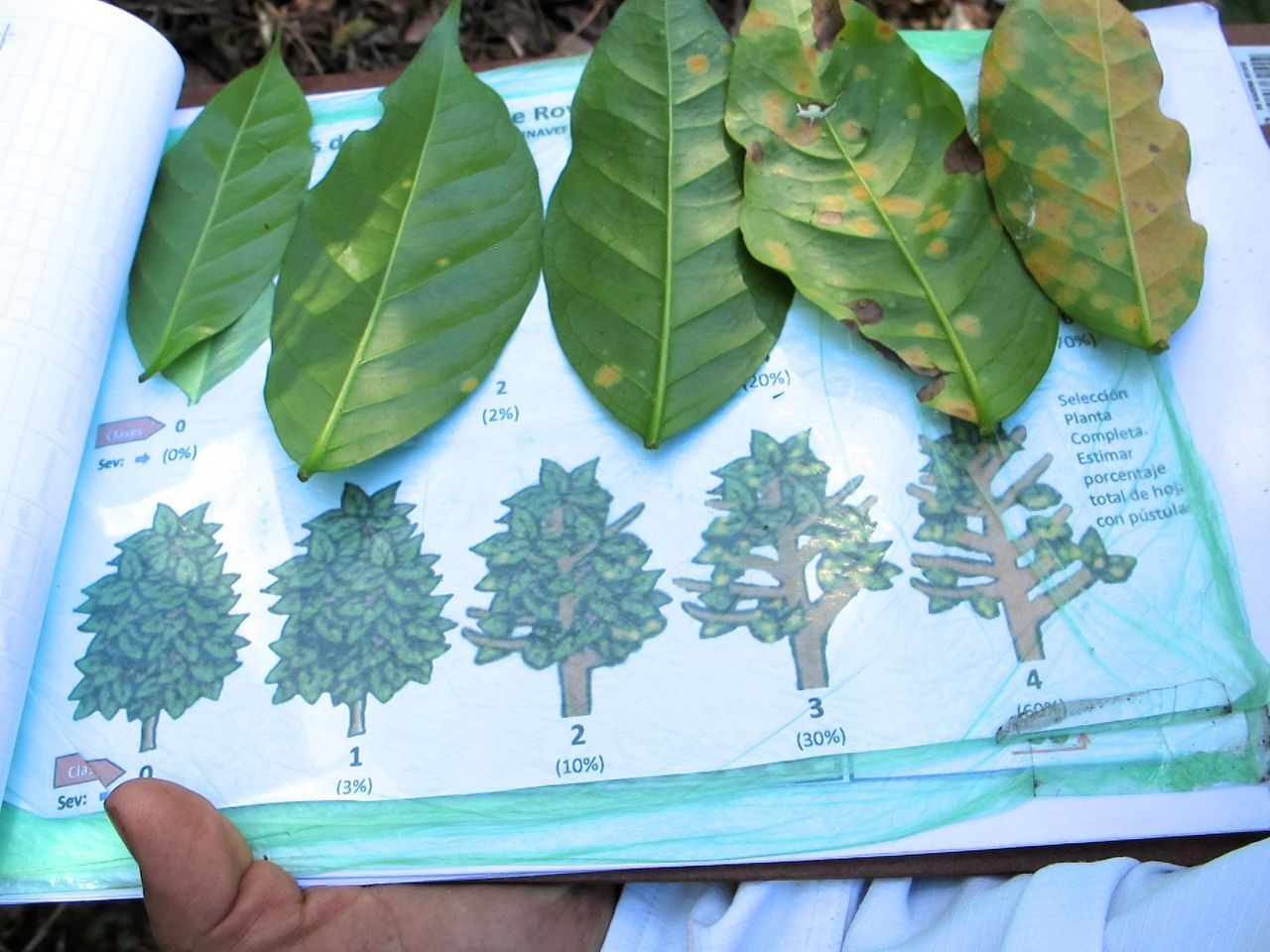 A Coffee & Climate agronomist demonstrates the evolution of coffee rust.