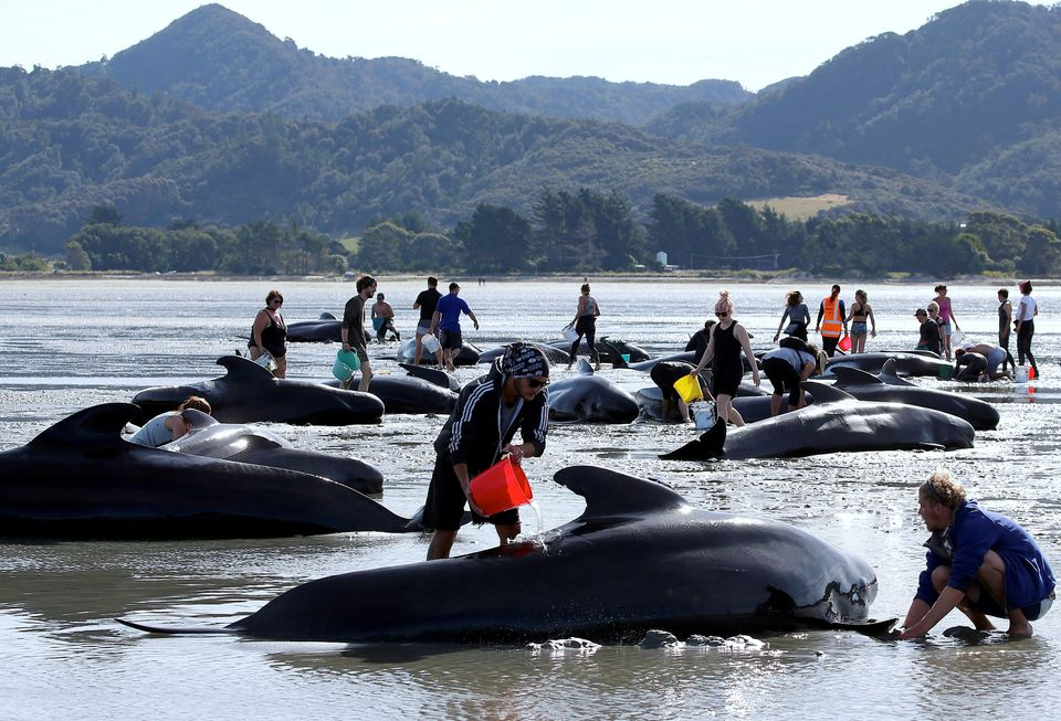 Volunteers try to assist some more stranded pilot whales that came to shore in the afternoon after one...