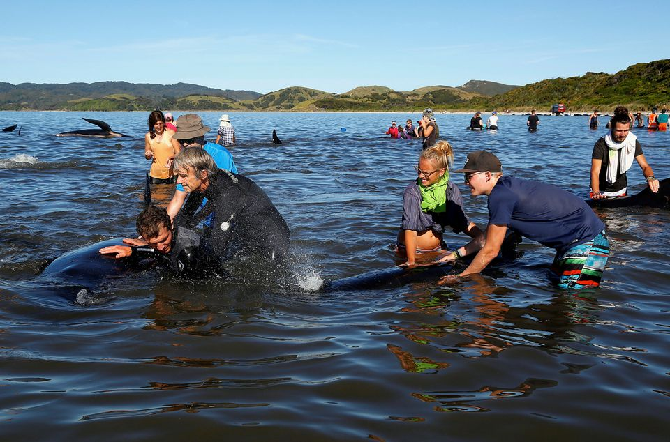 Volunteers try to guide some of the stranded pilot whales still alive back out to