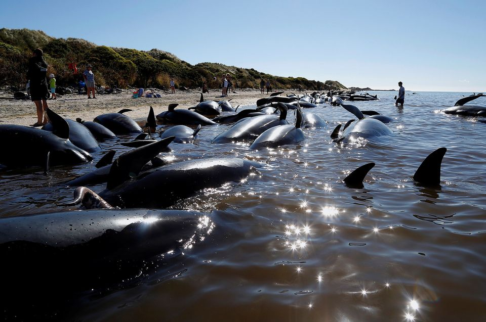 Hundreds of whales became stranded in New Zealand's South