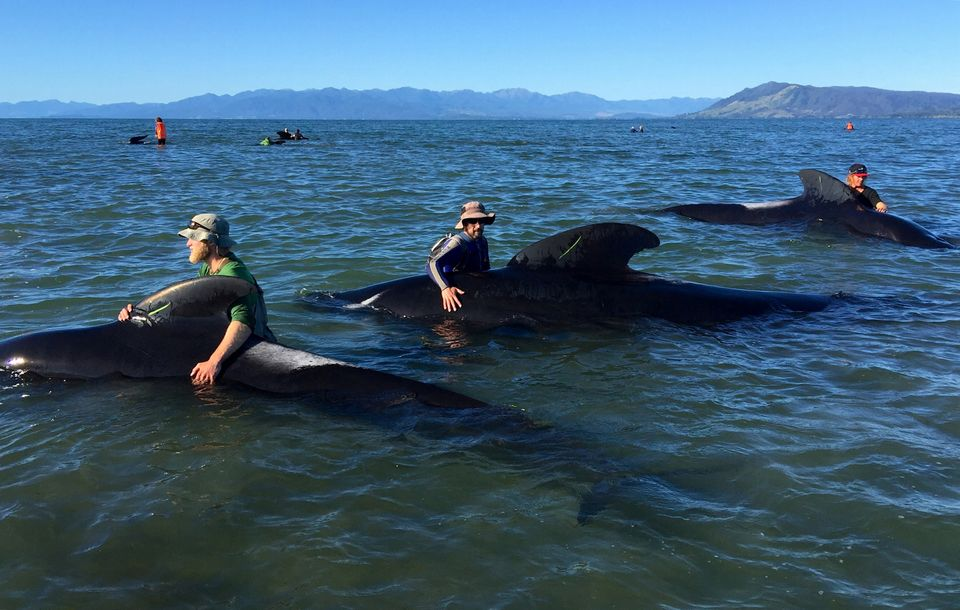 Volunteers try to guide some stranded pilot whales back out to