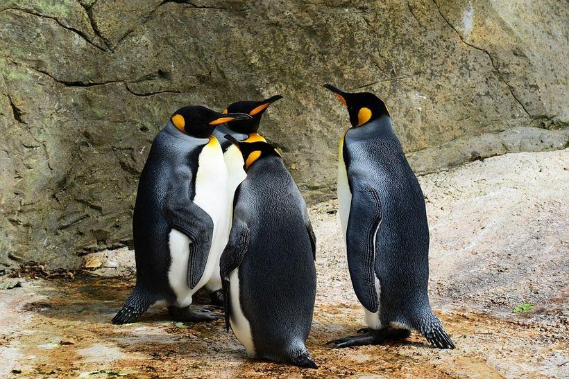 "Credit: <a rel=""nofollow"" href=""https://pixabay.com/en/king-penguin-penguins-384252/"" target=""_blank"">PollyDot</a>"