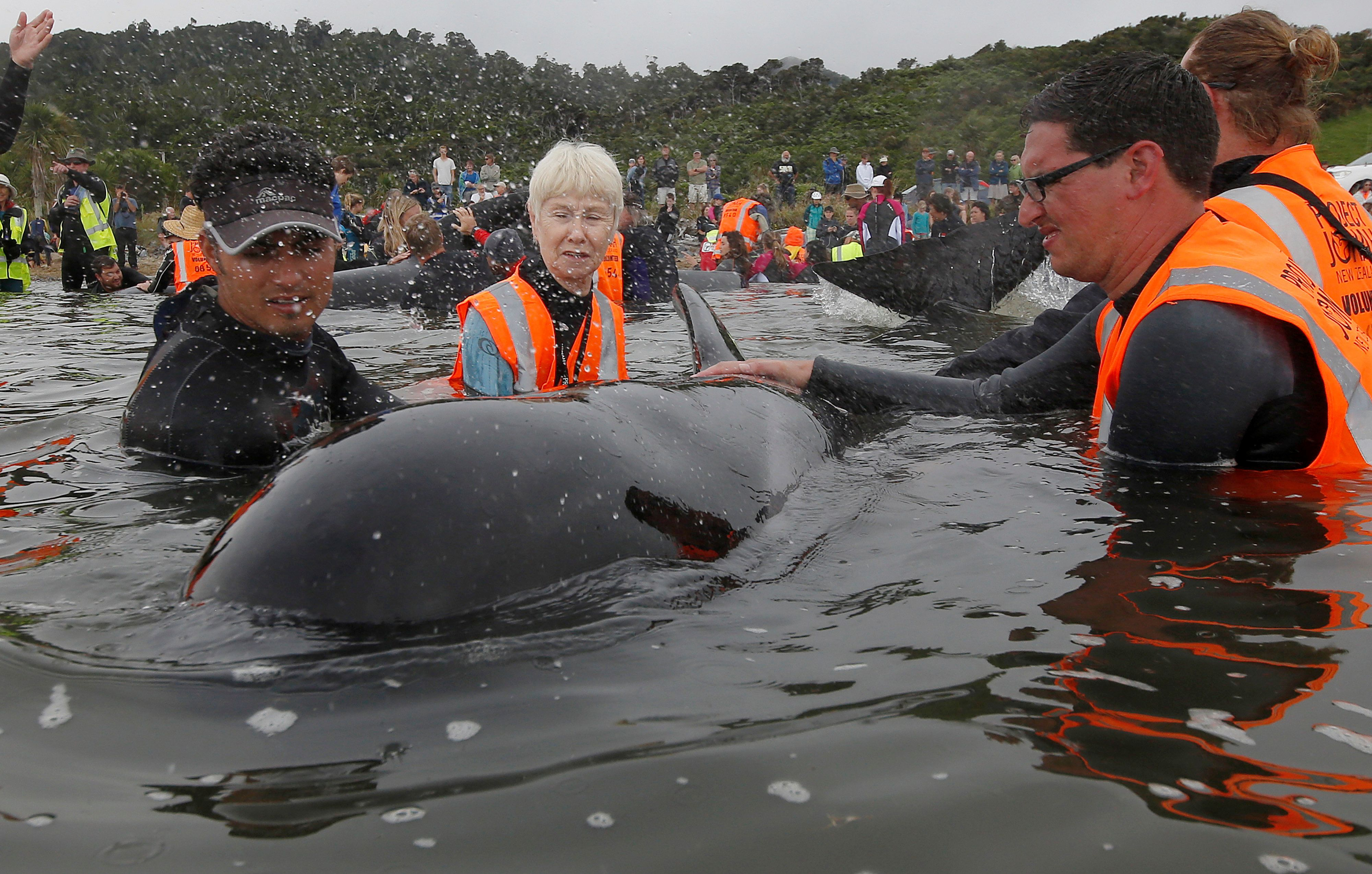Volunteers look after a pod of stranded pilot whales as they prepare to refloat them after one of the country's largest recorded mass whale strandings, in Golden Bay, at the top of New Zealand's South Island, February 12, 2017.  REUTERS/Anthony Phelps