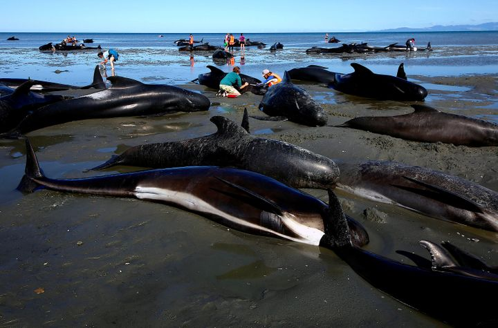 Volunteers try to help stranded pilot whales stuck on the shores of New Zealand's Farewell Spit on Feb. 11, 2017.