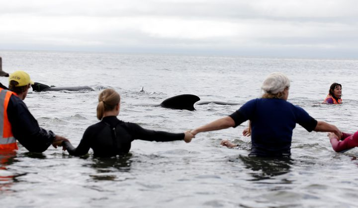 Volunteers form a human chain to prevent whales from stranding themselves on the beach.