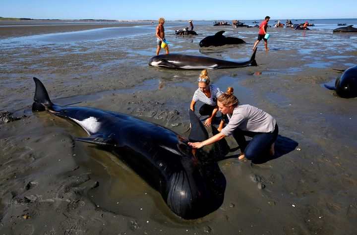More than 500 people worked for days to help save as many of the stranded whales as they could.
