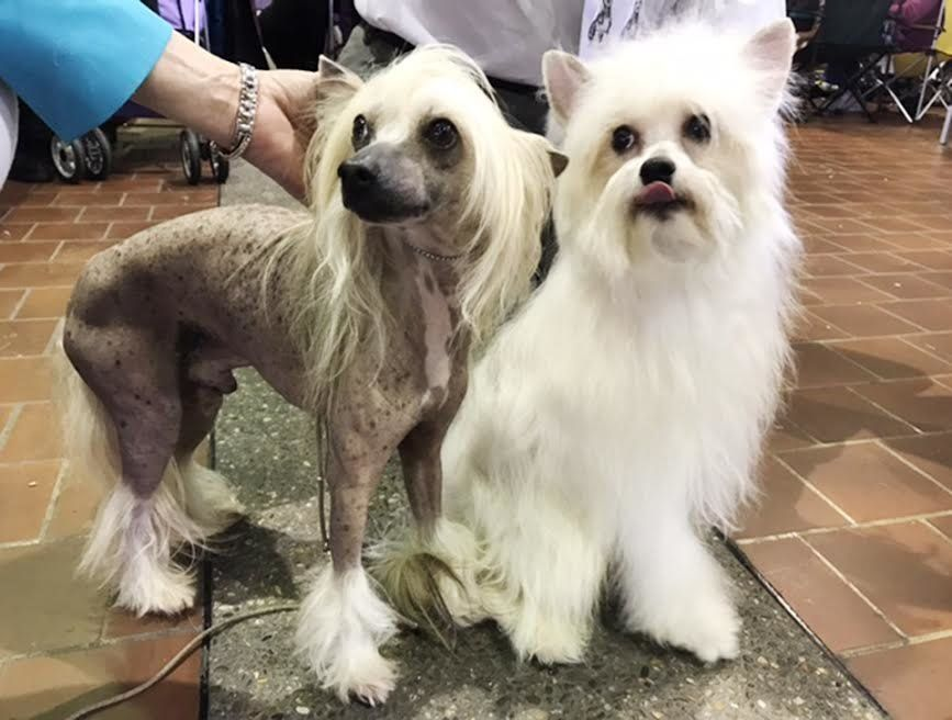 A hairless Chinese Crested dog and a Powderpuff which has a full coat are seen