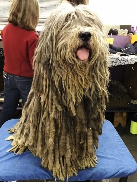 This is Tinia, a 6-year-old Bergamasco from Pennsylvania.