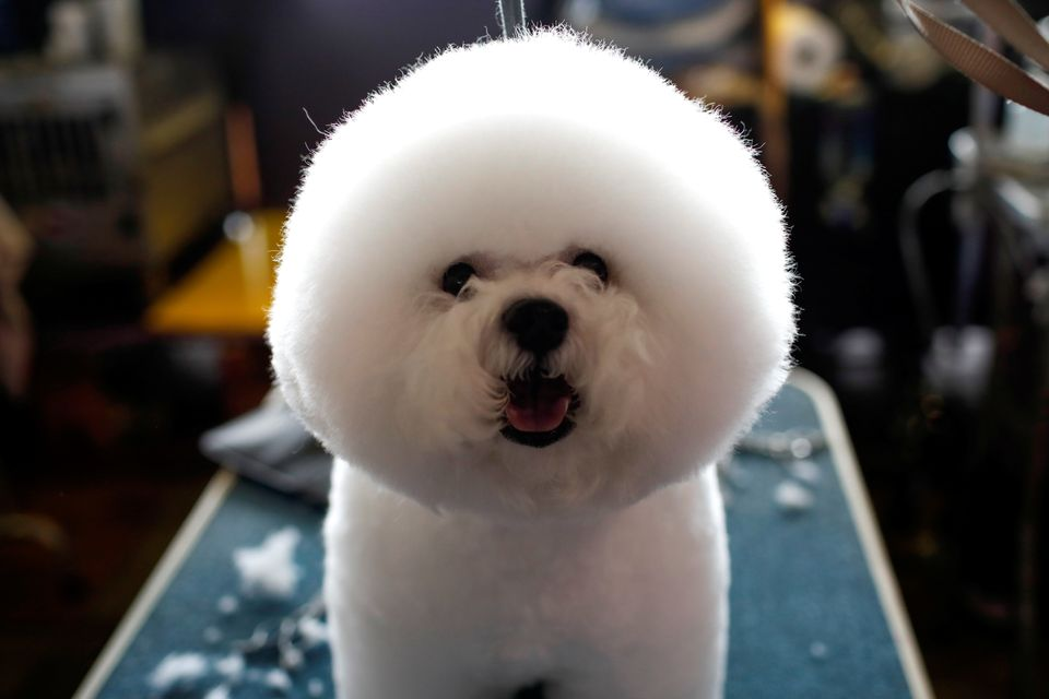 A Bichon Frise stands on a grooming table in the benching area before competition at the 141st Westminster Kennel Club Dog Sh