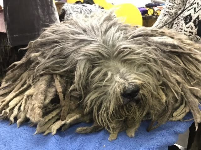 Bergamasco sheepdogs require little hair maintenance, one handler said.